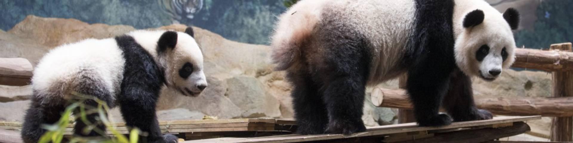 Bébé Panda ZooParc de Beauval