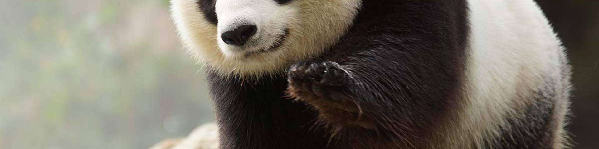 Le panda géant, une des stars du ZooParc de Beauval