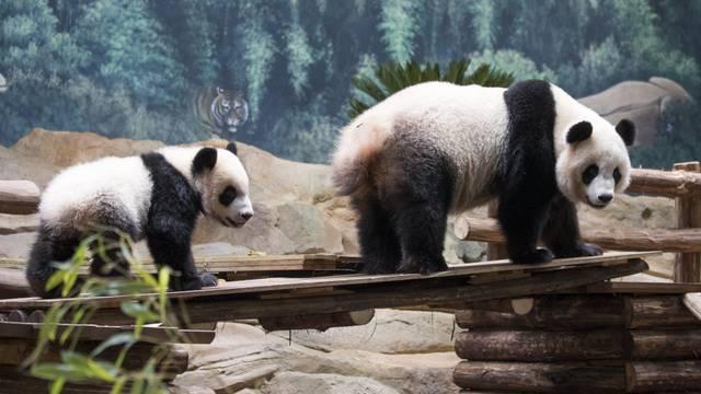 Yuan Meng, le bébé Panda ZooParc de Beauval