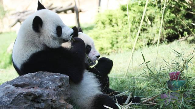 pandas du zooparc de Beauval