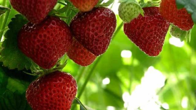 La fraise Mara des Bois. © OTBC