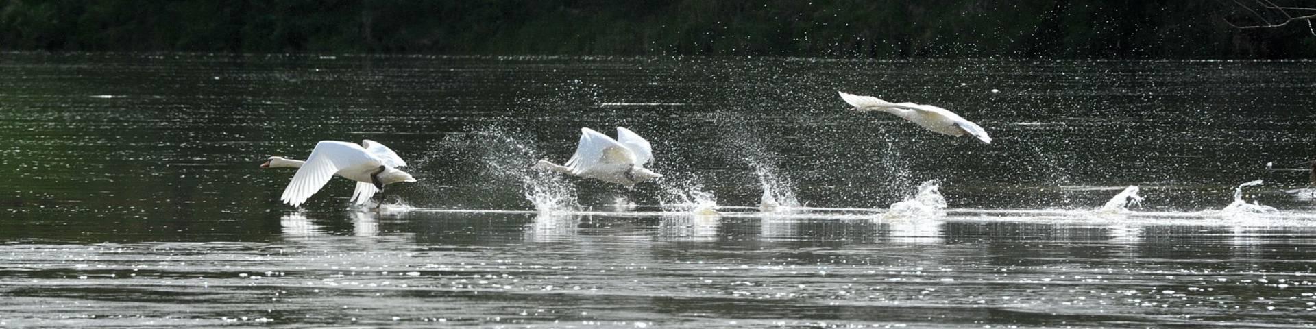Vol de cygnes au-dessus du fleuve la Loire