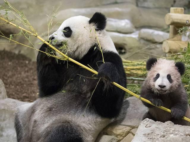 Au pays des pandas