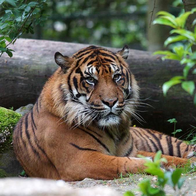 Asu, le tigre de Sumatra du ZooParc de Beauval