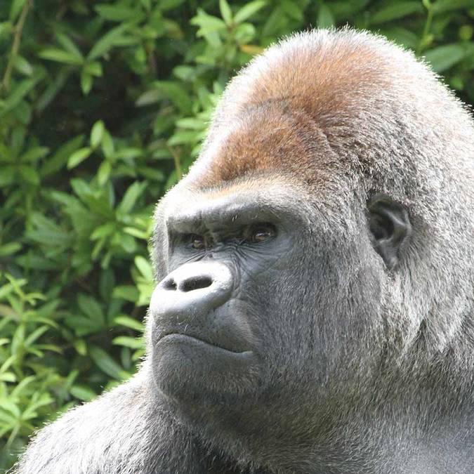 Asato, le gorille du ZooParc de Beauval