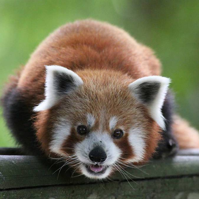 Liao, le renard roux du ZooParc de Beauval