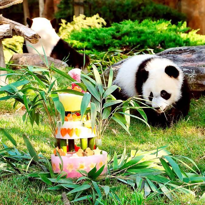 Les 2 ans de Yuen Meng au ZooParc de Beauval. © ZooParc de Beauval