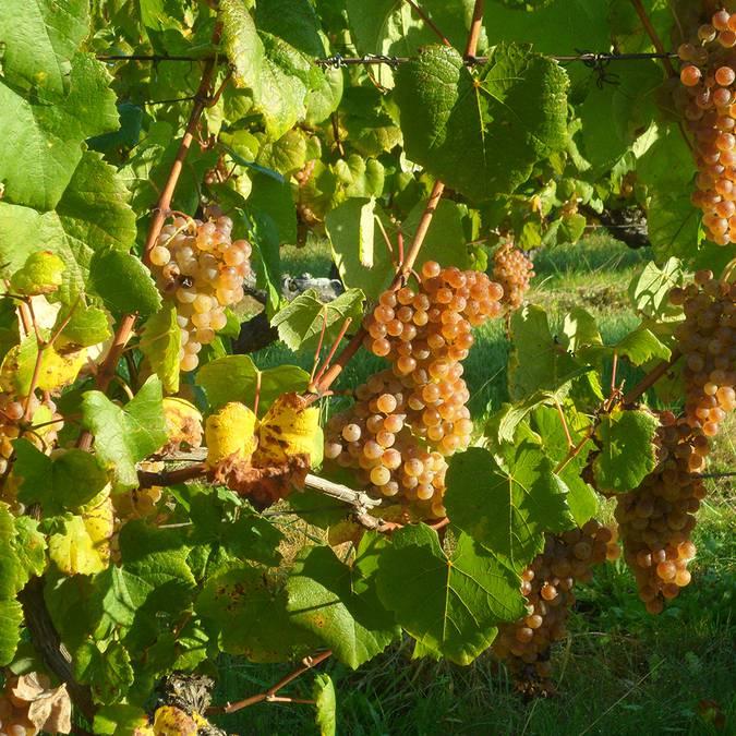Vignes et grappes du Romorantin