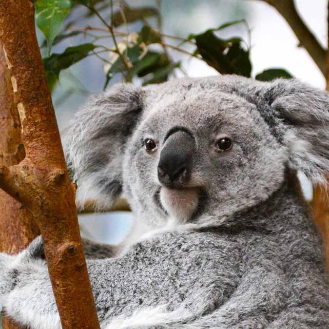 Les koalas à Beauval. © ZooParc de Beauval