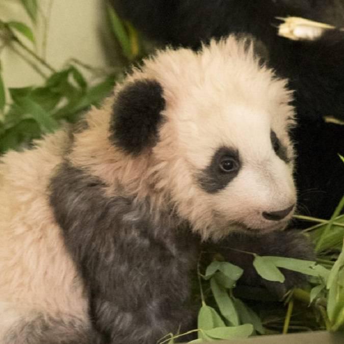 Yuan Meng, le bébé panda, star du ZooParc de Beauval. © Beauval